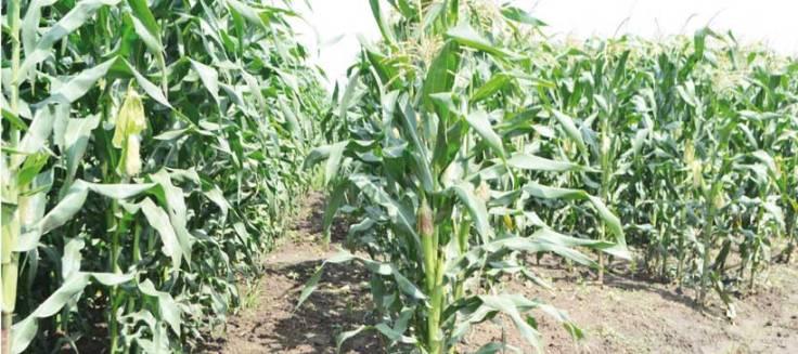 maize-field-2