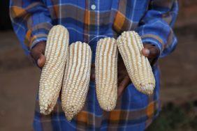 Demeter white hybrid maize MH26