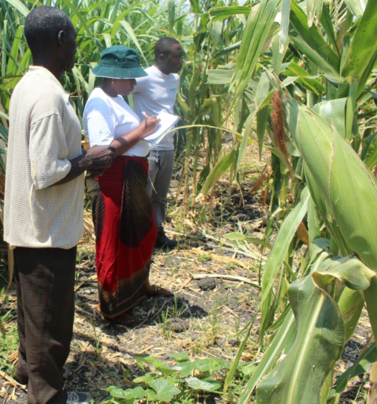 Maize seed ZM309 as tool for economic empowerment of